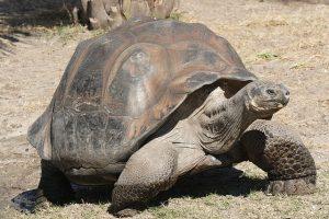 640px-Galapagos_giant_tortoise_Geochelone_elephantopus