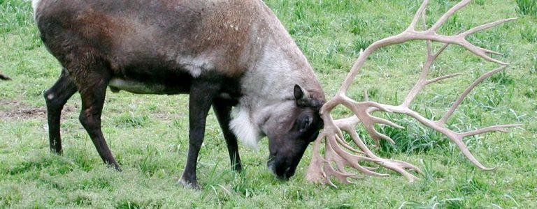 reindeer opener